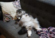 酔っ払ってソファーで寝てるおっさんみたいなオス猫